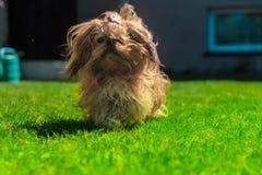 Tzu engraçado do shih do cão jogando no verde foto de stock