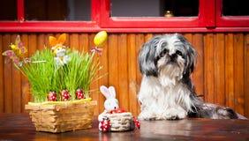 tzu för kanineaster shih Arkivbild