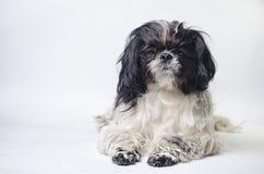 Tzu shih породы собаки на белизне стоковая фотография