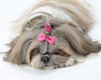 tzu shih собаки Стоковые Фото