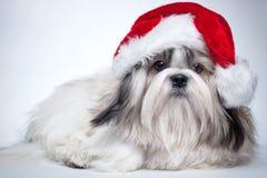 tzu shih собаки Стоковая Фотография RF