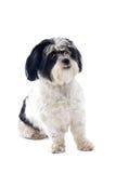 tzu shih собаки стоковые изображения