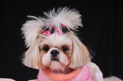 tzu shih собаки стоковое фото