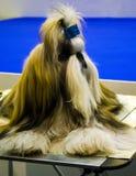 Tzu Shih tzu shih собаки breed Стоковая Фотография RF