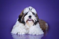 Tzu shih щенка изолированное на фиолетовой предпосылке Стоковое Изображение RF