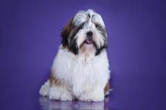 Tzu shih щенка изолированное на фиолетовой предпосылке Стоковые Изображения RF