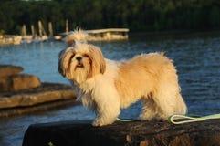 tzu shih щенка озера Стоковые Фото