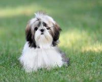 tzu shih щенка травы Стоковая Фотография RF