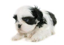 Tzu shih щенка Стоковые Фотографии RF