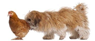 tzu shih щенка 6 месяцев курицы старое Стоковая Фотография RF