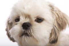 tzu shih щенка Стоковые Фото