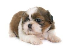 Tzu shih щенка Стоковая Фотография RF