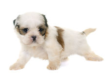 Tzu shih щенка Стоковые Изображения RF