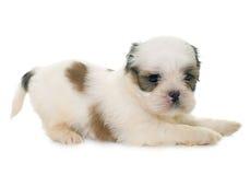 Tzu shih щенка Стоковое фото RF