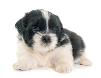 Tzu shih щенка Стоковая Фотография