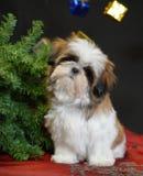 Tzupuppy van Shih bij Kerstmis Stock Foto's
