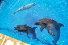 uśmiech delfina W basenie delfinu pływanie Obraz Stock