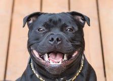 Uśmiech na szczęśliwym Staffordshire Bull terrier psie Obrazy Stock