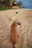 Uśmiechać się psy Fotografia Royalty Free