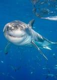 uśmiecha się rekina Zdjęcia Royalty Free