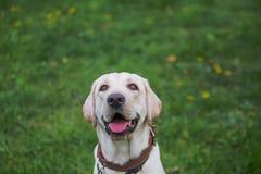 Uśmiechający się Labrador Retriever, także labrador, labradoryt dla spaceru zamykał jego oczy Fotografia Royalty Free