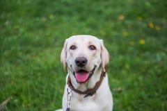 Uśmiechający się Labrador Retriever, także labrador, labradoryt dla spaceru zamykał jego oczy Zdjęcia Royalty Free