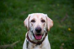 Uśmiechający się Labrador Retriever, także labrador, labradoryt dla spaceru zamykał jego oczy Fotografia Stock