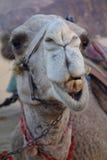 Uśmiechający się wielbłąd Zdjęcie Royalty Free