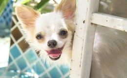 Uśmiechnięci śliczni chihuahua psy Zdjęcie Stock