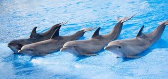 Uśmiechnięci dolphines przy Valencia w Lipu 2016 Obraz Royalty Free
