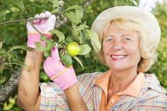 Uśmiechnięci kobiety zrywania jabłka w ogródzie Obrazy Royalty Free