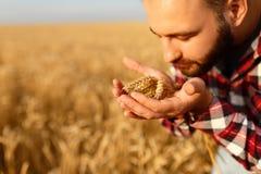 Uśmiechnięci mężczyzna mienia ucho banatka blisko jego nosa na tle i twarzy pszeniczny pole Szczęśliwy agronoma rolnik obwąchuje Obraz Royalty Free