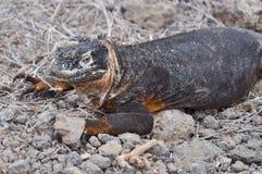 Uśmiechnięta gruntowa iguana obrazy royalty free