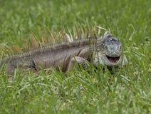 Uśmiechnięta iguana Obrazy Stock