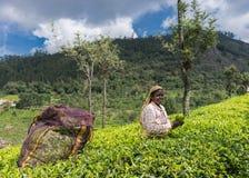 Uśmiechnięta kobieta podnosi herbacianych liście Obrazy Royalty Free