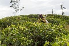 Uśmiechnięta kobieta pracuje na herbacianej plantaci w Sri Lanka Zdjęcie Stock
