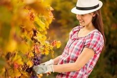 Uśmiechnięta kobieta zbiera winogrona Zdjęcia Stock