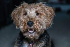 Uśmiechnięta Walijskiego Terrier głowa zamknięta w górę strzału indoors fotografia stock