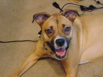 Uśmiechniętego boksera psi kłaść na bałaganie zrobił fotografia stock