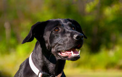 Uśmiechnięty czarny pies Fotografia Royalty Free