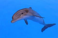 Uśmiechnięty delfin Zdjęcia Royalty Free