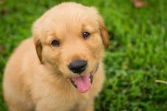 Uśmiechnięty golden retriever szczeniak Zdjęcie Royalty Free