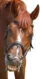 Uśmiechnięty koń Obrazy Royalty Free
