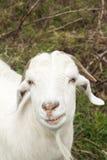 Uśmiechnięty Koźli Patrzejący fotografa Zdjęcie Stock