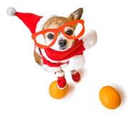 Uśmiechnięty psi chihuahua w Santa Claus kostiumu z pomarańczami na białym tle Chiński nowy rok 2018 rok Zdjęcia Stock
