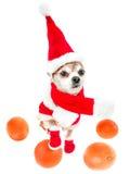 Uśmiechnięty psi chihuahua w Santa Claus kostiumu z pomarańczami odizolowywać na białym tle Chiński nowy rok 2018 rok pies Zdjęcie Royalty Free