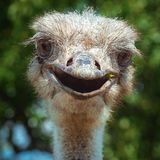 Uśmiechnięty strusi zakończenie zabawne ptak Fotografia Stock