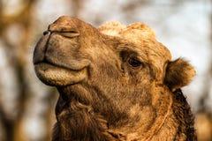 Uśmiechnięty wielbłądzi portret fotografia stock