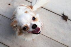 Uśmiechu chihuahua pies zdjęcia royalty free