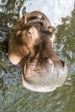 Uśmiechu hipopotama twarzy zakończenie up Obrazy Royalty Free
